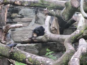 Malaien-Bär im Kölner Zoo